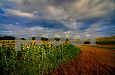 sunflowercurvesfinal