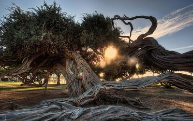 Beach Tree, La Jolla, Ca