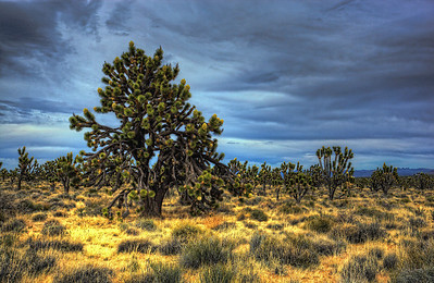 Joshua Tree Grande Took a drive through the Mojave Desert.  I've always liked Joshua Trees and was surprised to find such a dense population of them in this area.  They appeared out of nowhere and were gone just as fast.