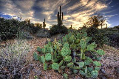 Bevertail Cactus