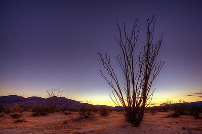 Ocotillo  Anza Borrego Desert State Park, California