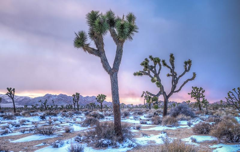 Joshua Trees and Snow
