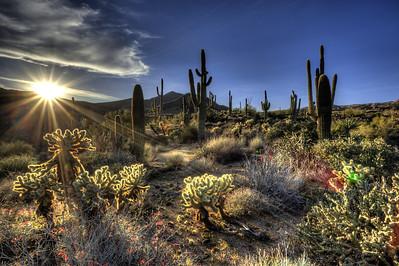 Sunburst Cactus
