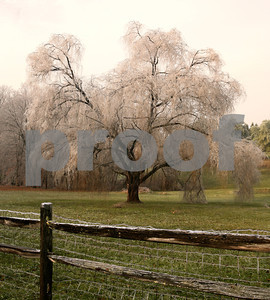 frosty weeping willow