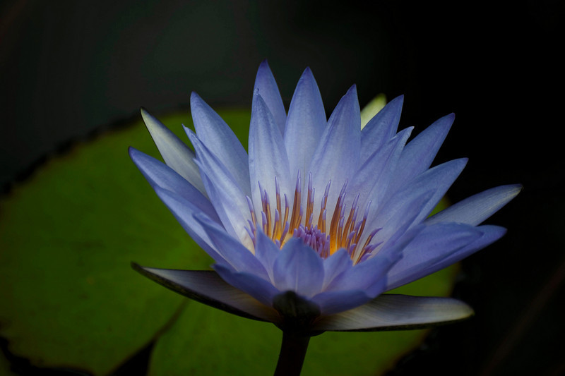 water lily, blue heaven