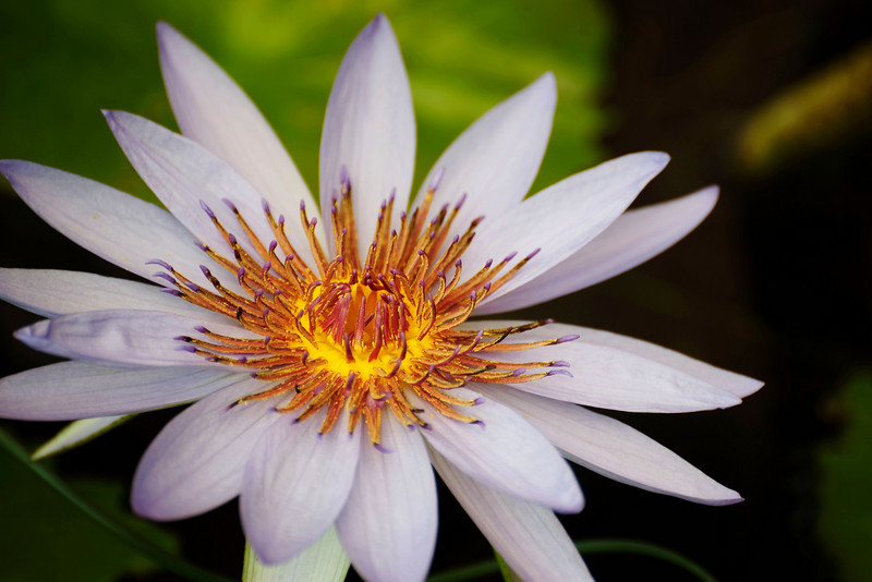 inside the water lily