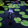 wide angle water lilies