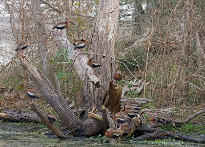 "Black-bellied Whistling-Ducks  – LoafingDendrocygna autumnalis December – Texas L=21""......     WS=30"" ......    WT=1.8 lb Order: Anseriformes (Ducks, Geese Swans)  Family: Aatidae (Ducks, Geese Swans) Black-bellied Whistling-Ducks are more arboreal than most ducks and will frequently be seen loafing in trees and even on barbed wire or telephone lines. Prior to being renamed ""whistling-ducks"" this species was called the Black-bellied Tree Duck.  They are gregarious and are found in large flocks. When loafing or foraging it is common for sentries to watch for threats. Individuals form lifelong pairs and will separate from a flock in breeding season. Usually they nest in tree cavities. Their young are precocial (i.e. born with open eyes, downy feathers, and are capable of locomotion within a few hours of hatching) and will jump from the nest within 24 hours of hatching. To soften the fall from the 8-30 foot height parents will find or create a landing area that has thick herbaceous matter."