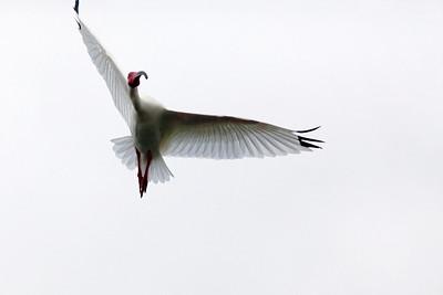 White IbisEudocimus albus