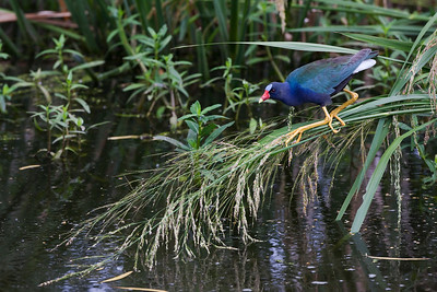 "Purple Gallinule – ForagingPorphyrio martinica February – Texas L=13""  ......   WS=22""......     WT=8 oz......m>f Order: Gruiformes (Rails, Cranes, and Allies) Family: Rallifae (Rails, Gallinules and Coots) The Purple Gallinule is a striking and exotically colored bird. It has three very long front toes and an exceptionally long hind toe which enable it to walk on floating vegetation to forage for food. The name ""gallinule"" derives from the Latin ""gallina"" meaning ""little hen"". Purple Gallinules have proven to adapt well when their habitats have been modified. For example, they thrive in rice fields and eat invasive plant species such as water hyacinth (Eichhornia crassipes) and hydrilla (Hydrilla verticillata)."