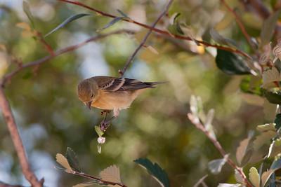 Lesser GoldfinchSpinus psaltria
