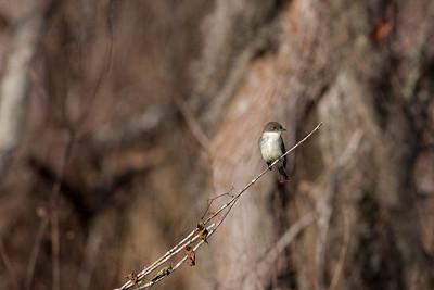 "Eastern Phoebe – restingSayornis phoebe December – Texas L=7""......     WS=10.5"" .......    WT=0.7 oz  Order: Passeriformes (Passerine Birds)"