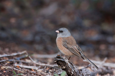 "Dark-eyed Junco – ""Pink-sided""Junco hyemalis October – New Mexico L=6.25""   ......  WS=9.25"".......     WT=0.7 oz Order: Passeriformes (Passerine Birds) Family: Emberizidae (New World Sparrows) The Dark-eyed Junco was considered 5 distinct groups, two of which had sub-species, until the 1970's when the American Ornithologist's Union grouped all five into one species. Still, the distinctiveness of the individual sub groups was recognized. Today the Dark-eyed Junco has the following five groups – ""slate-colored"", ""Oregon"", ""white-winged"", ""gray-headed"", and ""Gaudalupe"". The ""pink-sided"" shown here is a sub-species of the group ""Oregon"". Clearly, though these are considered to be one species the physical differences are notable.  Even with this confusion, the Dark-eyed Junco is one of the most common and most recognized birds in North America. It is abundant, tame, conspicuous in its foraging behavior, and frequents feeders and urban landscapes."