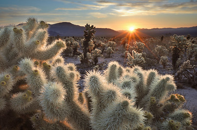 Chollas Cactus Sunrise Joshua Tree National Park, California.  Copyright © 2012 All rights reserved