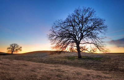 Oak Trees at Sunset Red Bluff, California.  Copyright © 2011 All rights reserved.