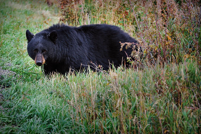 Black Bear Surprise