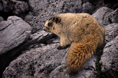 Marmot on Rocks Banff National Park, Alberta Canada.  Copyright © 2009 All rights reserved