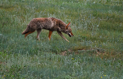 Coyote in Grass Rocky Mountain National Park, Colorado.  Copyright © 2009 All rights reserved.