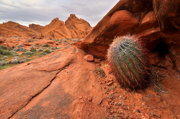 Barrel Cactus Near Mouse's Tank Valley of Fire State Park, Nevada.  Copyright © 2011 All rights reserved.