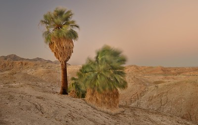 Five Palms at Dusk. Anza-Borrego State Park, California. Copyright © 2010 All rights reserved.