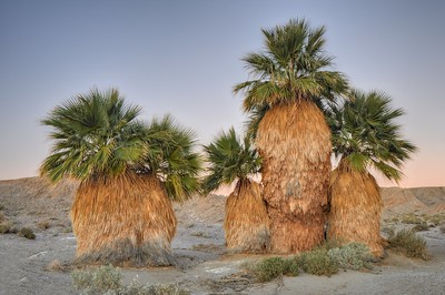 Some of the Seventeen Palms  Anza-Borrego State Park, California. Copyright © 2012 All rights reserved.