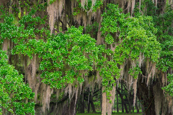 Live Oak Trees With Spanish Moss