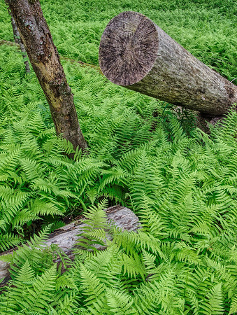 Ferns And Fallen Log