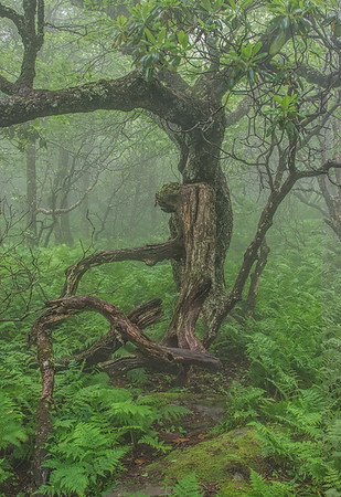 Old Elm Tree In The Fog