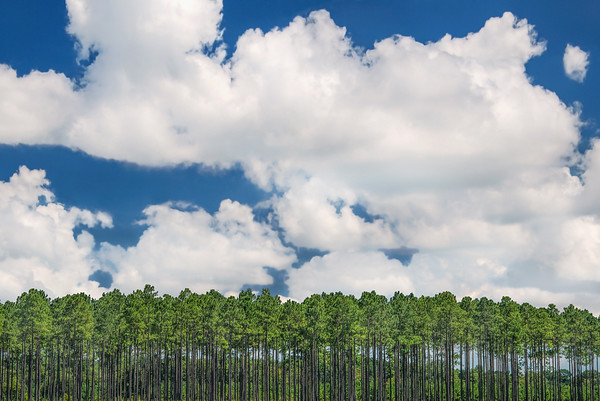 Summer Clouds Over Long Leaf Pines