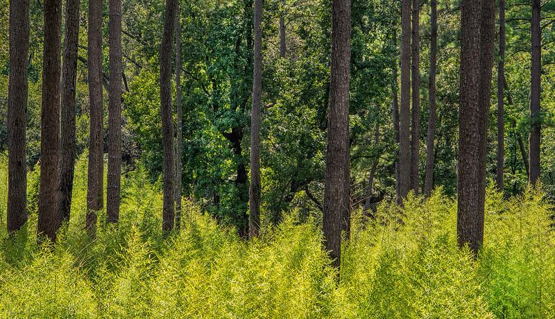 Loblolly Pine Trunks In Green Forest