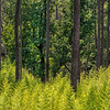 Loblolly Pine Trunks In Green Forest