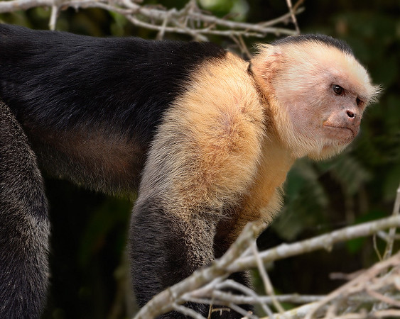 Angry White-Face Capuchin