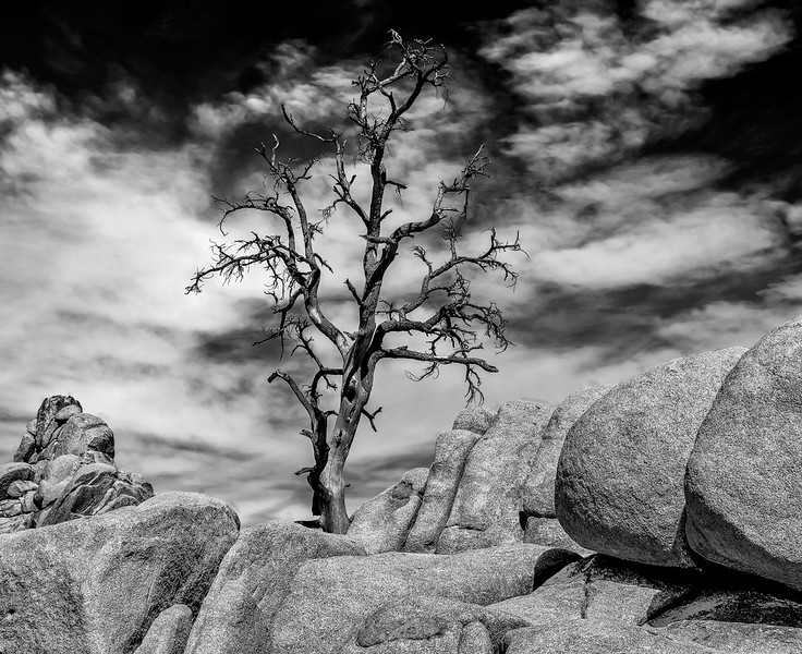 Dead Pinyon Pine On Top of Rock Formation In Mohave Desert