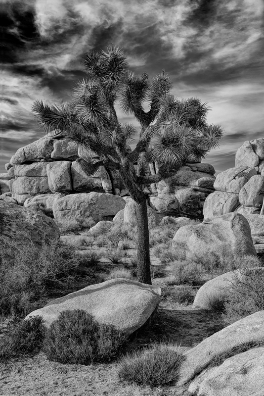Joshua Tree In Front Of Rock Formations