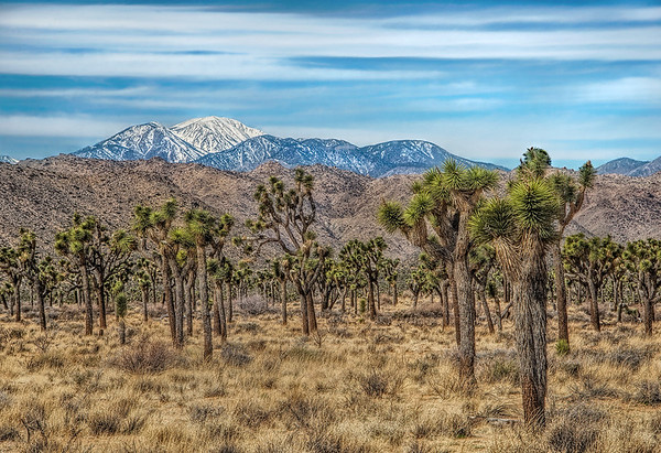 Joshua Trees In Front Of Mt San Jacinto