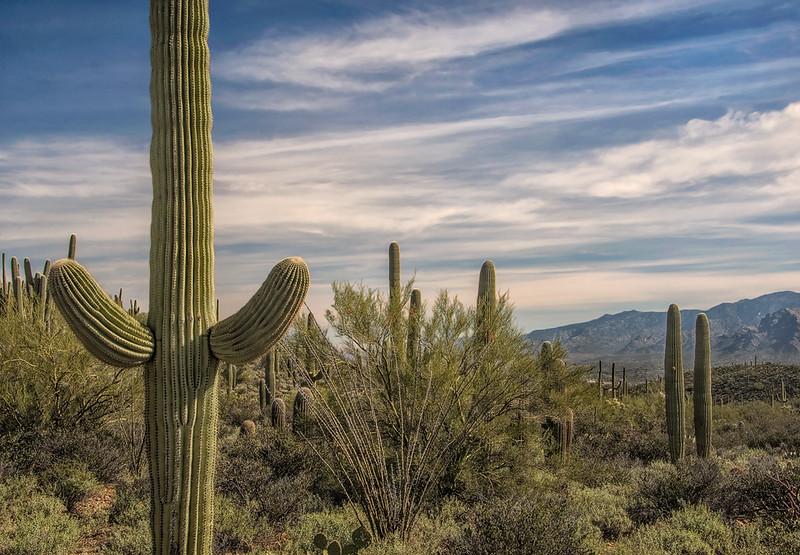 Saguaro Overlooking Catalina Mountains