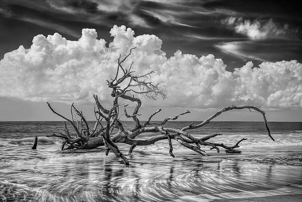 Fallen Driftwood Tree On Hunting Island