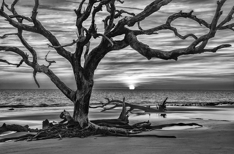 Sun Rising Behind Driftwood Tree