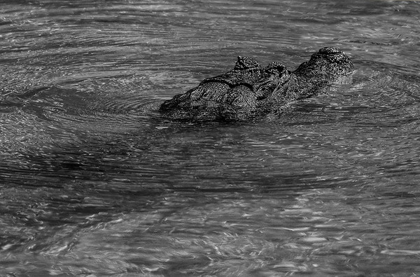 Spectacled Caiman In Rio Negro