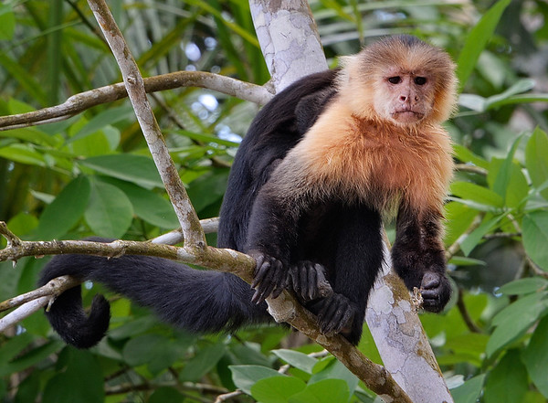 White-Faced Capuchin Carrying Baby
