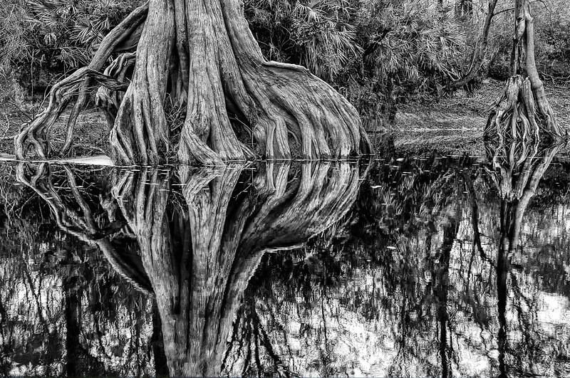 Cypress Roots Along The Suwanee River