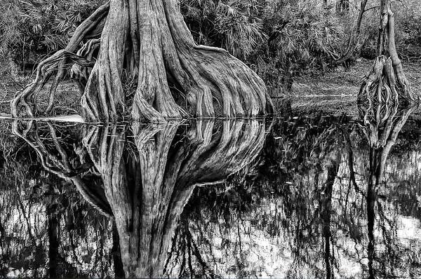 Cypress Roots Along The Suwanee River