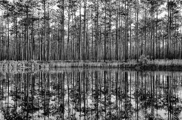 Swamp Reflections - Okenfenokee Swamp