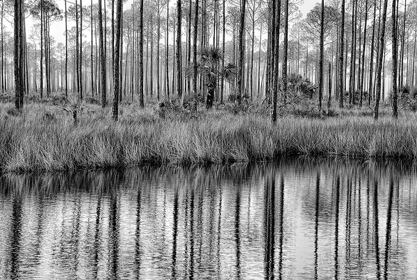 Long Leaf Pine Reflections