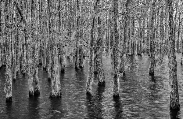 Bald Cypress Skeletons In Dead Lakes
