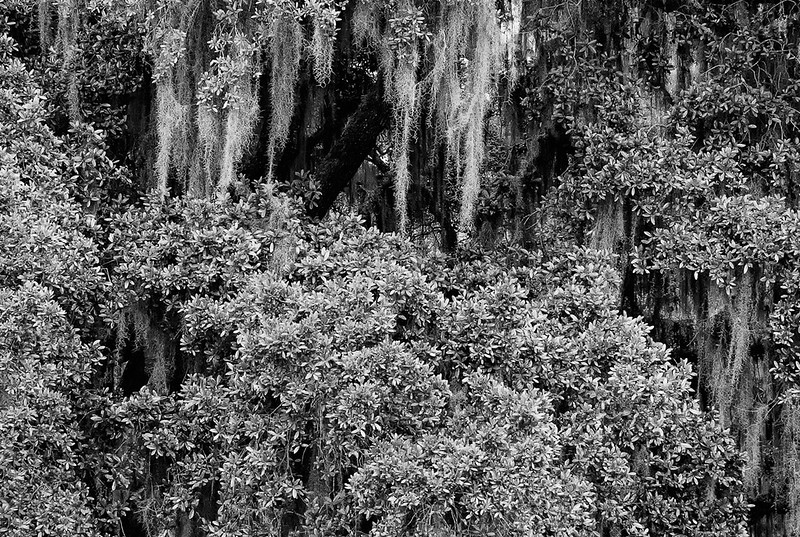 Live Oak Trees On Edisto Island