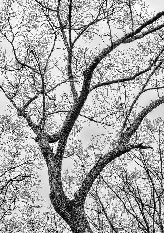 Bare Tree Study, Winter at Red Top Mtn