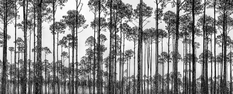 Long Leaf Pine Forest - Okefenokee Swamp