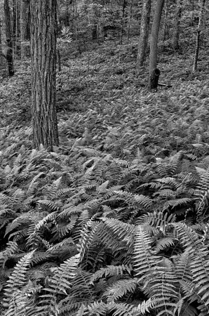 Field of Ferns - Chattahoochee National Forest