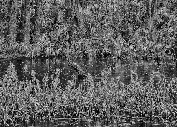 Maritime Forest Pond In The Rain